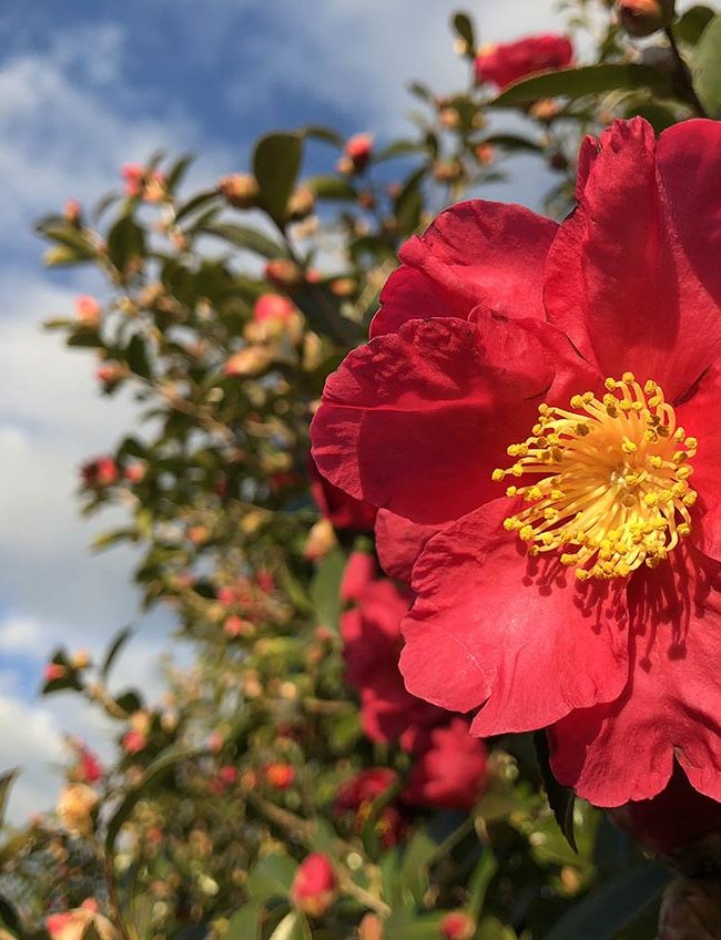Camelia Sasanqua - flowers and garden by La Piccola Selva