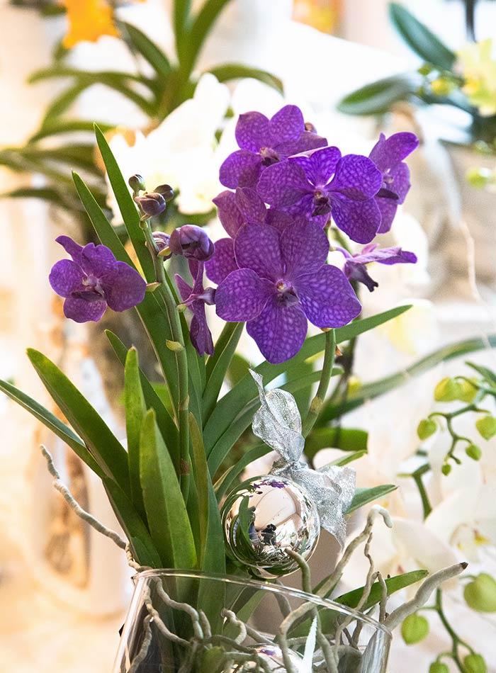 Orchidea Vanda in confezione natalizia
