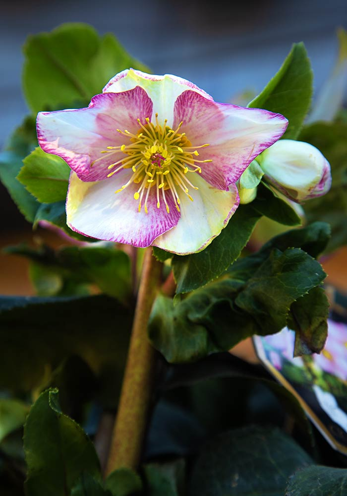Helleborus Ice N' Roses®