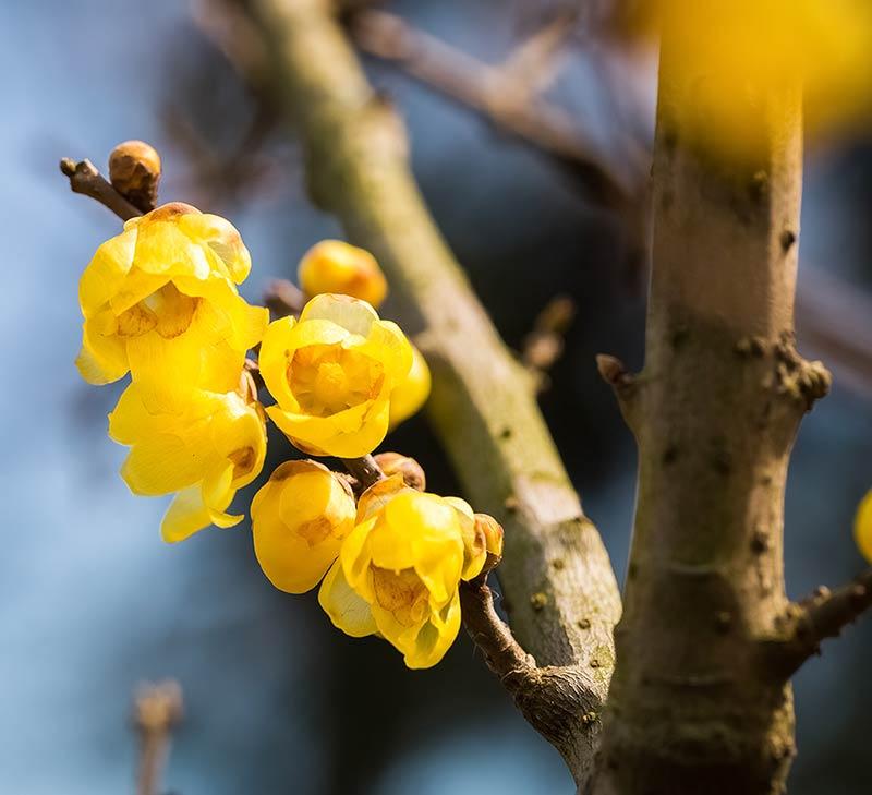 Calycanthus praecox - Yellow Wintersweet