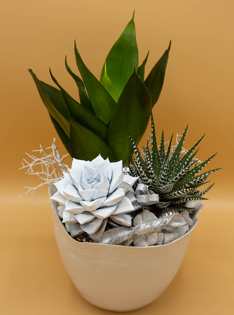 Confezione agave