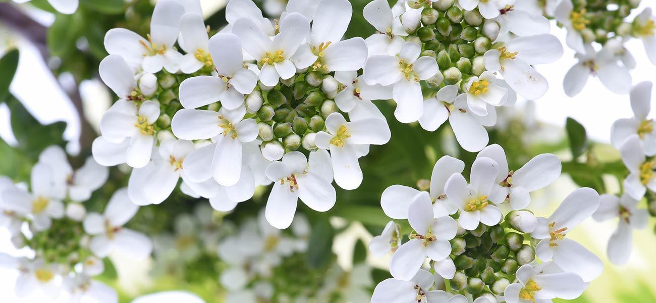 Iberis Sempervirens - flowers & garden by La Piccola Selva