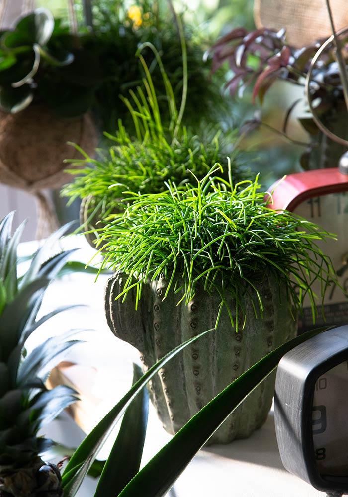 Rhipsalis in vaso cactus terracotta