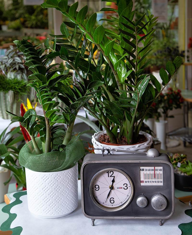 Zamia con coprivaso e radio-sveglia vintage anni '60