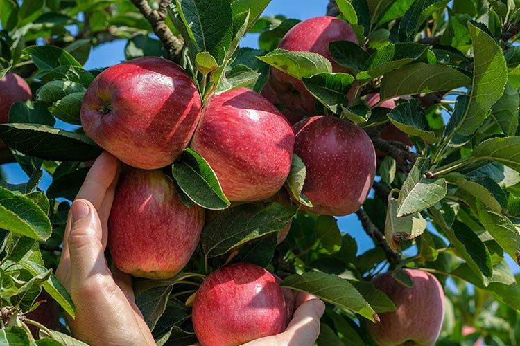 Pianta di melo a pronta fruttificazione