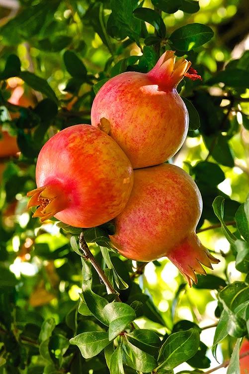 Melograno nano da frutto